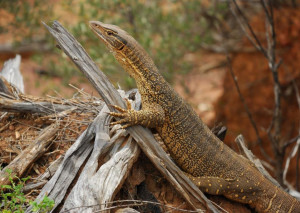 The sand goanna uses fallen timber in regrowth woodlands for shelter and for thermoregulation (basking). (Photo by Melissa Bruton)