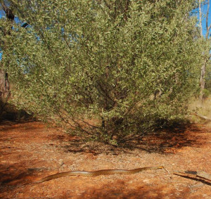 A Woma python in mulga regrowth. (Photo by Melissa Bruton)