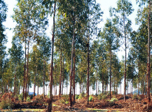 Monocultures of trees (an example is pictured above), have traditionally been the choice when it comes to establishing plantations. New research is suggesting, however, that mixed plantings can match monocultures when it comes to locking up carbon. What's more, mixed plantings also have the capacity to deliver multiple other benefits as well.