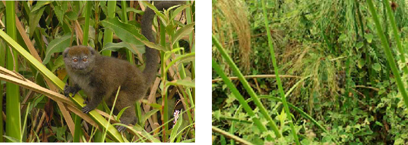 Now you see it, now you don't! As with so many species, the Alaotran gentle lemur (Hapalemur alaotrensis) is difficult to detect in the wild. Due to the dense structure of most of its marsh habitat, individuals are easily missed unless they stand right at the vegetation edge (as pictured left). In the picture above right, two individuals stand slightly deeper among the papyrus. Can you spot them? (Photos by G. Guillera-Arroita)