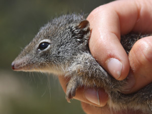 The dibbler is an endangered mammal formerly widespread across south-western Australia and now threatened with extinction by feral predators.