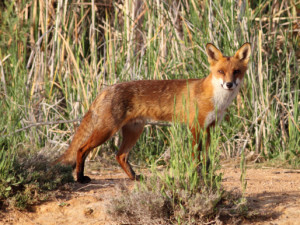 Since they were introduced for recreational hunting in the mid- 1800s, foxes (Vulpes vulpes) have spread across most of Australia. They have played a major role in the decline of a number of species of native animals and are regarded as one of Australia's worst invasive predators. 'Predation by the European red fox' is listed as a key threatening process under the Commonwealth Environment Protection and Biodiversity Conservation Act 1999. More info: http://www.environment.gov.au/biodiversity/invasivespecies/ publications/factsheet-european-red-fox-vulpes-vulpes (Photo by Harley Kingston, http://www.flickr.com/photos/harlz_/)