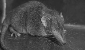Attempts to eradicate the Asian musk shrew from the Mauritian island of Ile aux Aigrettes in 1999 began well. After 49 days of trapping, none were being caught. Eight days had passed without any individuals being trapped so the eradication was declared a success and the program was scaled back. A bit later they started turning up again. In 2000 the program was abandoned.