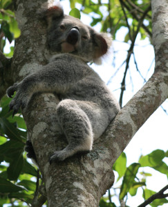 Stay up in the tree koala, there's a dog just below you!! Resident koala in study area (peri-urban), on a property with a free roaming dog. (Photo by Nicole Shumway)