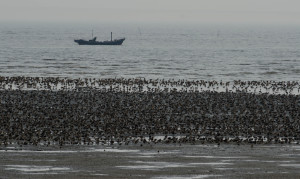 The loss of tidal flats along migratory pathways, especially staging sites (where birds must replenish their energy stores during migration for long, energetically expensive flights) can have extreme consequences for shorebird populations. For the millions of shorebirds that migrate through the East Asian-Australasian Flyway, the intertidal areas of Asia are a crucial migratory bottleneck. (Photo by Nick Murray)