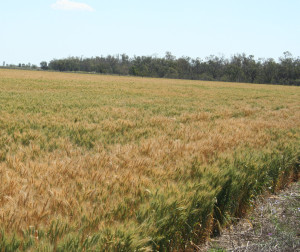 Cropping in the Brigalow Belt. (Photo by David Salt).