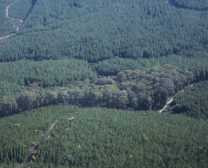 A patch of remnant woodland in a sea of pines. New research is suggesting the pine trees do not facilitate the movement of birds from patch to patch.
