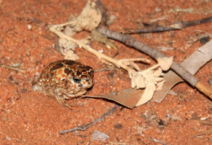 Many Australian frogs, such as this desert spadefoot that we found on our roadtrip, are capable of burrowing when times get tough. But cane toads lack such adaptation for an arid existence.