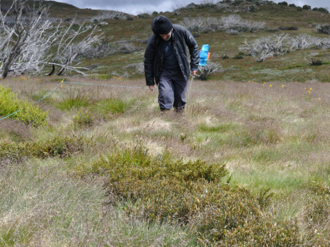 A volunteer seeks hawkweed in the 2012 detection experiment. (Photo by Roger Cousens)