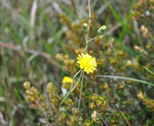 A king devil hawkweed mimic. Why is it a mimic? See the story on page 16. (Photo by Roger Cousens)