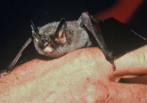 The short-tailed bat – the only living member of its family. (Photo by Jane Sedgeley)