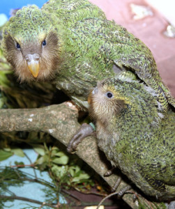The critically-endangered kākāpō, has likely been genetically isolated from other parrot species for tens of millions of years. (Photo by Dianne Mason)