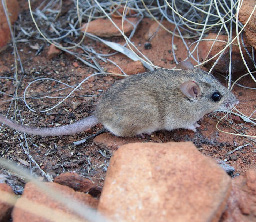 The common rock rat is in decline. (Photo by Sam Banks)