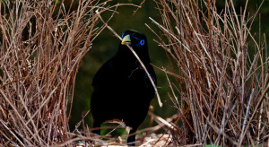 The satin bowerbird is one species in the Wet Tropics World Heritage Area which would benefit from more targeted monitoring. (Photo by Dirk Hovorka)