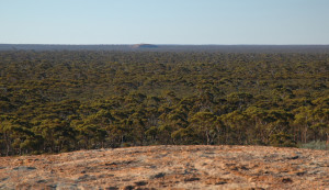 The Great Western Woodland in Western Australia is one of the most floristically diverse areas in the world and a centre of plant endemism. It also located in a developed country underscoring the fact that primary forests are not just an issue for the developing world. (Photo by Amanda Keesing).