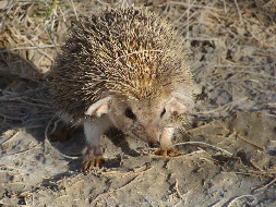 Despite the flat, open and rather bleak nature of the Ustyurt landscape, it hosts all kinds of species - such as this rather shy species of desert hedgehog, who reluctantly posed for photos after we fed it a hardboiled egg. (Photo by Joe Bull)