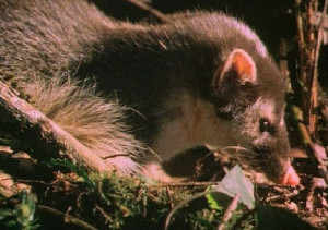 Data Deficient species are predominantly brown and well hidden. The Bornean ferret badger (Melogale everetti) is listed as Data Deficient as the impact of potential threats is unknown (Photo: Arkive).