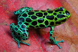Zimmermann's poison frog (Ranitomeya variabilis) is assessed as Data Deficient as it has recently been distinguished from another similar species. The genus Ranitomeya is very poorly-understood and may contain many more new species. (Photo: Arkive)