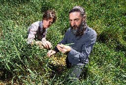 Jane Catford with Don Driscoll in dense sward of canary grass. This species is a known invasive plant but new varieties are still being developed for pasture. (Photo by Stuart Hay)