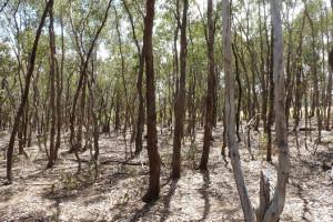 A dense stand of eucalypts in central Victoria. (Photo by Chris Jones)