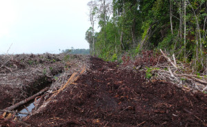Clearing of peatland for oil palm. In 2012 Indonesia broke the record for clearing tropical forest. (Photo by Erik Meijaard)