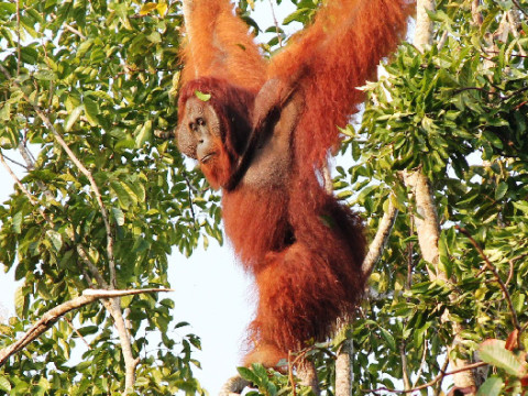 An adult male orangutan in a Kalimantan oil-palm plantation, now an endangered species. (Photo by Nardiyono)