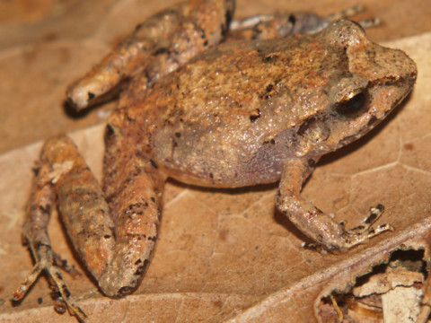 A frog of the Mexican cloud forest. Climate change and land conversion may mean its days are numbered. (Photo by Omar Ordoñez)