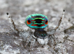 The recently named Maratus sarahae, which will be nominated for State conservation listing this year. (Photo by Jürgen Otto)