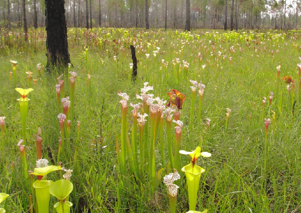 Natural values can come with a significant ongoing management cost. The extremely high (up to 50 species per square meter) plant species richness in the longleaf pine savanna ecosystem depends on fire reoccurring within the system every one to three years. The Garcon Point Preserve in north Florida, pictured here, is managed intensively with prescribed fire in order to sustain the fire-adapted species such as these carnivorous pitcher plants. (Photo by Gwen Iacona)