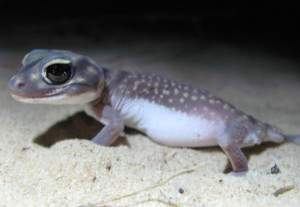 The knob-tailed gecko (Nephrurus stellatus) thrives in open habitats created by fire. (Photos by Annabel Smith)