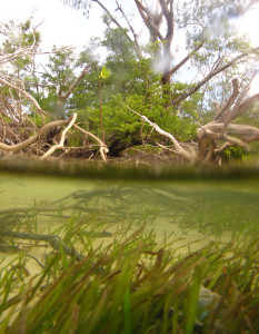 Threatened ecosystems, like seagrasses, face multiple threats. Managers have some capacity to address these threats where they occur locally to the ecosystem. That might be in the marine environment surrounding the seagrass beds or on land adjacent to the ecosystem. But managers have limited capacity to address global stressors such as climate change. That doesn't mean they can ignore impacts from climate change. What's important is how local stressors interact with global stressors. (Photo by Megan Saunders).