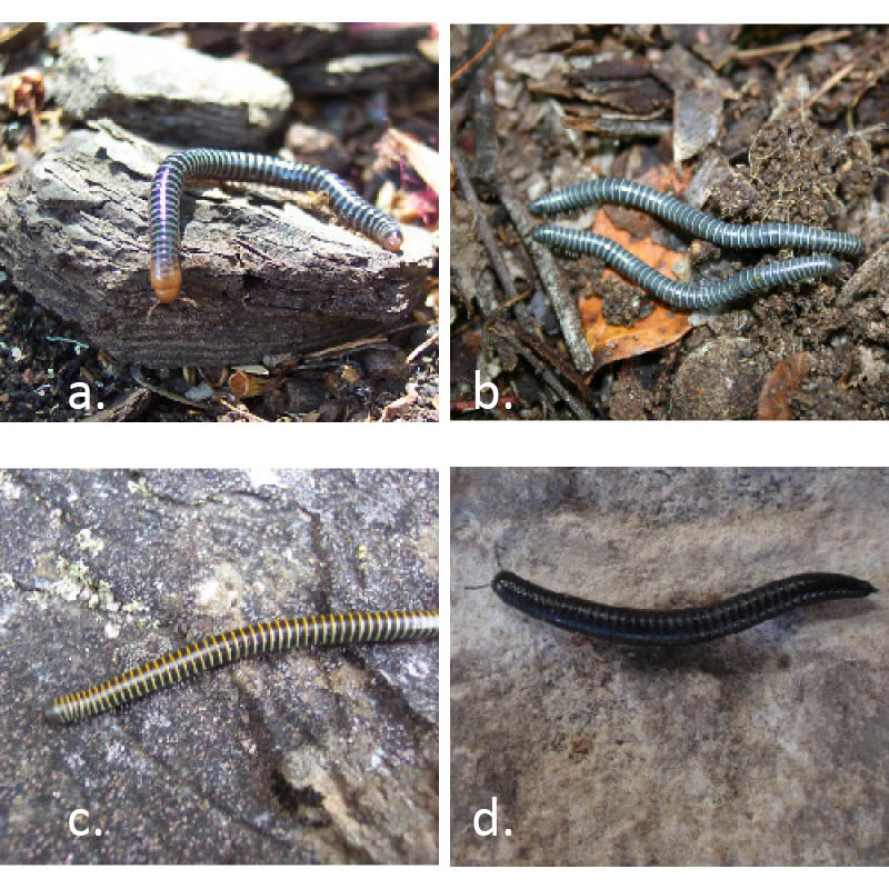 Dozens of multi-coloured native millipede species have been found in the South Coast region to date, including pink-headed (a), blue (b) and tiger millipedes (c). SCTIG has helped document the spread of the introduced Portuguese millipede (d) throughout the southwest though at this stage it is unknown whether this invader will adversely impact on the natives. Groups like SCTIG help to ensure that such invasions don't go unrecorded and help in raising awareness and generating public debate. (Photos by Melinda Moir except photo (b) which is by Mark Harvey.)