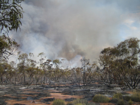 Large bushfires occur in the mallee shrublands and woodlands of Victoria, New South Wales and South Australia. (Photo by Lauren Brown)
