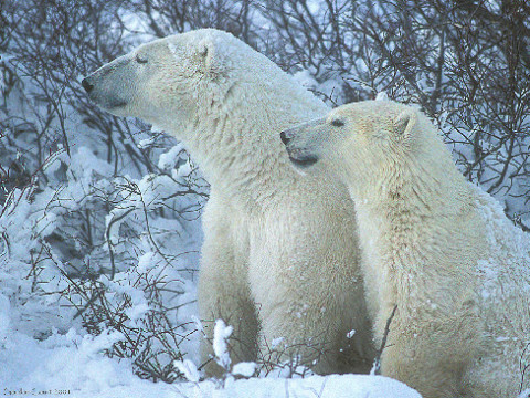 A polar bear and cub. Polar bears were listed as Special Concern under SARA in 2011. (Photo by Gordon Court)