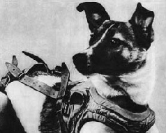 Laika, a stray dog from the streets of Moscow, was launched into outer space on November 3, 1957. She was chosen because it was assumed such an animal had already learned to endure conditions of extreme cold and hunger. (Image licensed under Fair use via Wikipedia - http://en.wikipedia.org/ wiki/File:Laika.jpg#/media/File:Laika.jpg)