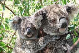 According to the IUCN, the koala has been identified as one of ten species globally that is most vulnerable to climate change due to a decline in the nutritional quality of food trees resulting from increased atmospheric concentrations of carbon dioxide. See http://cmsdata.iucn.org/ downloads/fact_sheet_red_list_koala.pdf for more info. (Photo by B Balch)