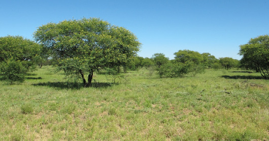 Endemic Mitchell grasslands are being converted to shrubland by the invasion of exotic invasive species like prickly acacia. (Photo by Jennifer Firn.)