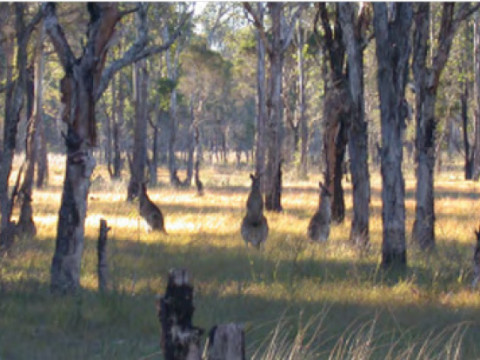 Kangaroos graze in a remnant of the once mighty Cumberland Plains Woodlands. (Photo by Penny Watson)