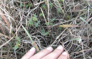 Working against its chances of effective protection is the fact that it can be very difficult to detect during environmental impact assessment surveys, especially at sites where the biomass of kangaroo grass is high.