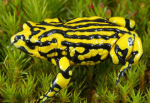 An adult southern corroboree frog. (Photo by David Hunter)