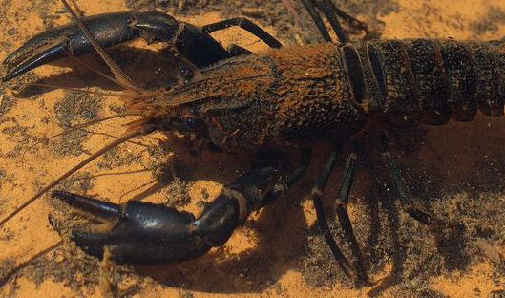 The Critically Endangered hairy maroon crayfish (Photo: Arkive).