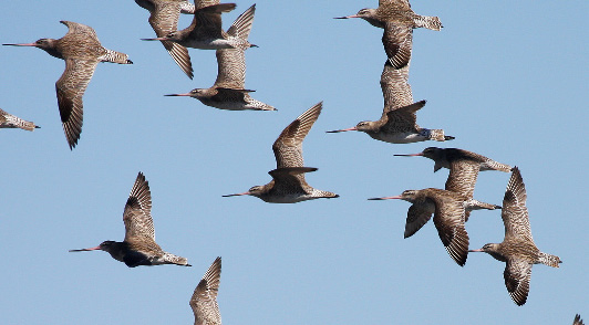 A flock of bar-tailed godwits. Migratory shorebirds such as these have been experiencing worrying declines in recent years. Will people in the future be able to witness their amazing feats of migration? (Photo by Rob Clemens)