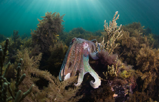 A giant cuttlefish on Australia's Great Southern Reef. (Photo by Catlin Seaview Survey).