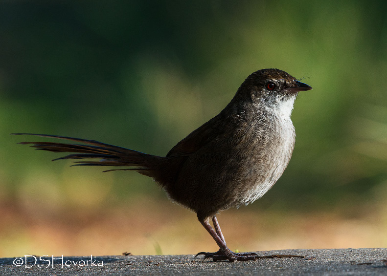 Threat management for the eastern bristlebird involves decreasing grazing pressure, managing fire for biodiversity, and controlling foxes. Conservation priorities differ when threat management interactions are explicitly considered, and when they are not.