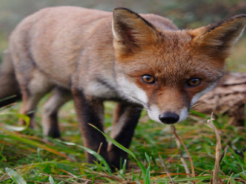 Focussing on the fox alone might unleash the rabbit population creating an even bigger impact on the threatened species being managed for.