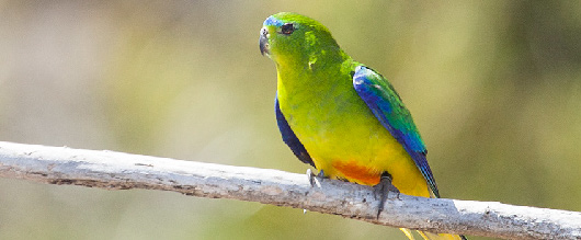 The orange-bellied parrot is endemic to Australia and critically endangered. Eighteen IBAs have been identified in Australia for the presence of this species. (Photo: © Jeremy Ringma.)