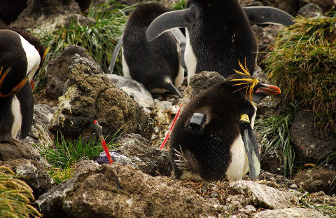 A Macaroni penguin with attached tracking device. (Image by A Sheffer)