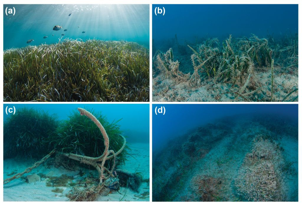 Posidonia oceanica seagrass meadows in the Mediterranean Sea. (a) Healthy meadow in the study region, (b) meadow impacted by fish farming, (c) meadow impacted by anchoring, and (d) meadow impacted by trawling. (Photos by Yiannis Issaris/www.yissaris.com).