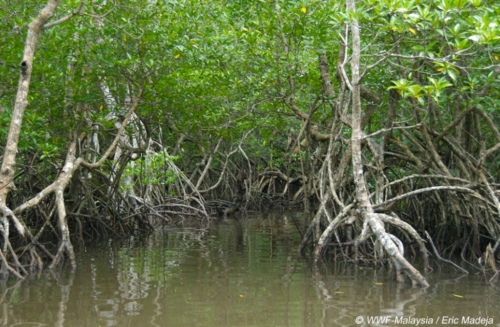 Mangroves in the Tun Mustapha Marine Park provide valuable breeding grounds for young fish. (Photo by Eric Madeja)