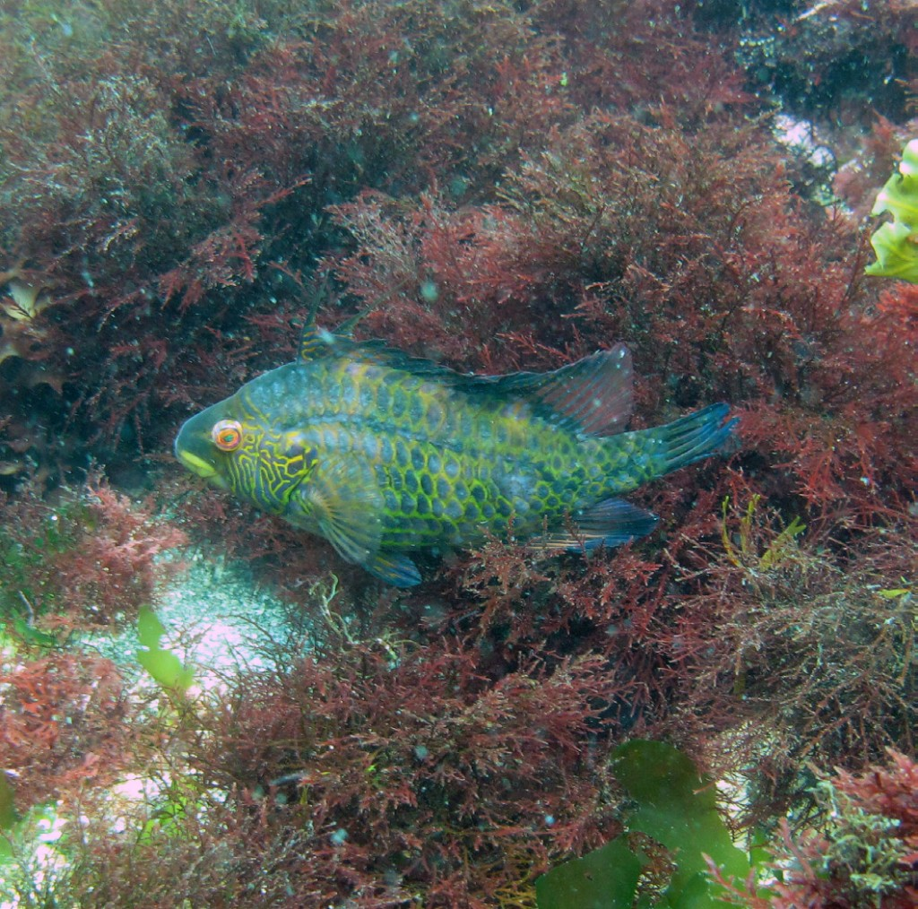 A temperate wrasse in kelp at the Izu Peninsula, Japan, at a site where fishers complain about the loss of their favourite (temperate) target species because of tropicalisation.